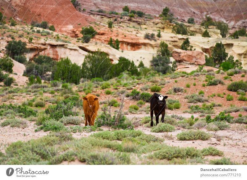 Cowgirls Fleisch Milch Landwirtschaft Forstwirtschaft Natur Landschaft Tier Sträucher Hügel Felsen Wüste Nutztier Kuh 2 Tierjunges braun schwarz Tierliebe