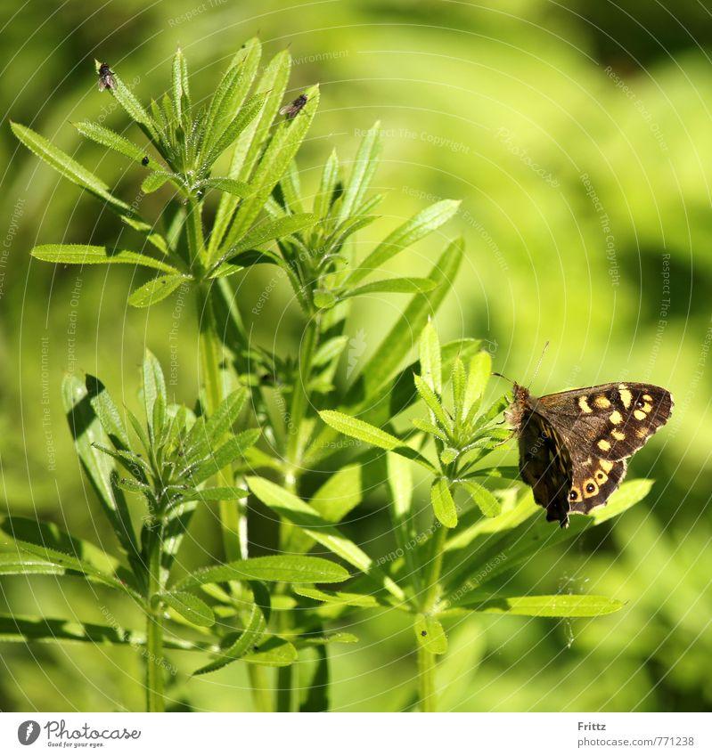 Waldbrettspiel Natur grün Pflanze Tier gelb braun sitzen Fliege Schönes Wetter Flügel Insekt Schmetterling Wildpflanze Zweiflügler Edelfalter