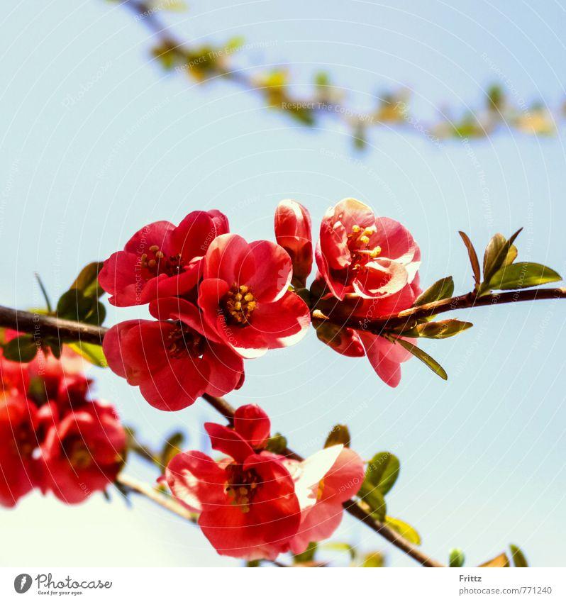 Zierquitte Natur Pflanze Frühling Sträucher Blüte exotisch Rosengewächse Rosaceae Spiraeoideae Pyreae Kernobstgewächse Pyrinae Scheinquitte Blühend Duft