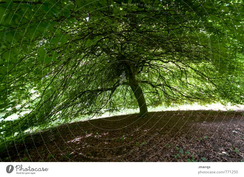 Sonnenschirm Natur Sommer Baum Leben außergewöhnlich groß Perspektive Schönes Wetter Ast Schutz Sicherheit Umweltschutz Geborgenheit Laubbaum breit