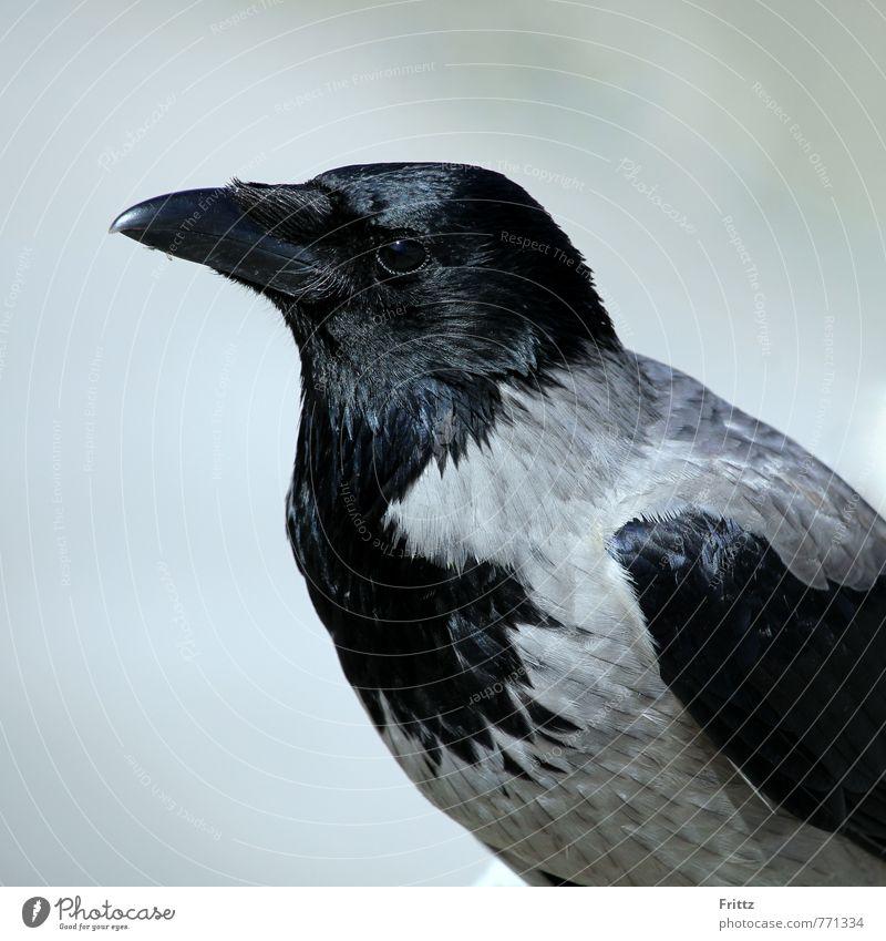 Nebelkrähe Natur Tier Vogel Tiergesicht Aaskrähe Rabenvögel Krähe Russische Saatkrähe Corvus Cornix 1 sitzen grau schwarz grauschwarzer Vogel schwarzer Schnabel