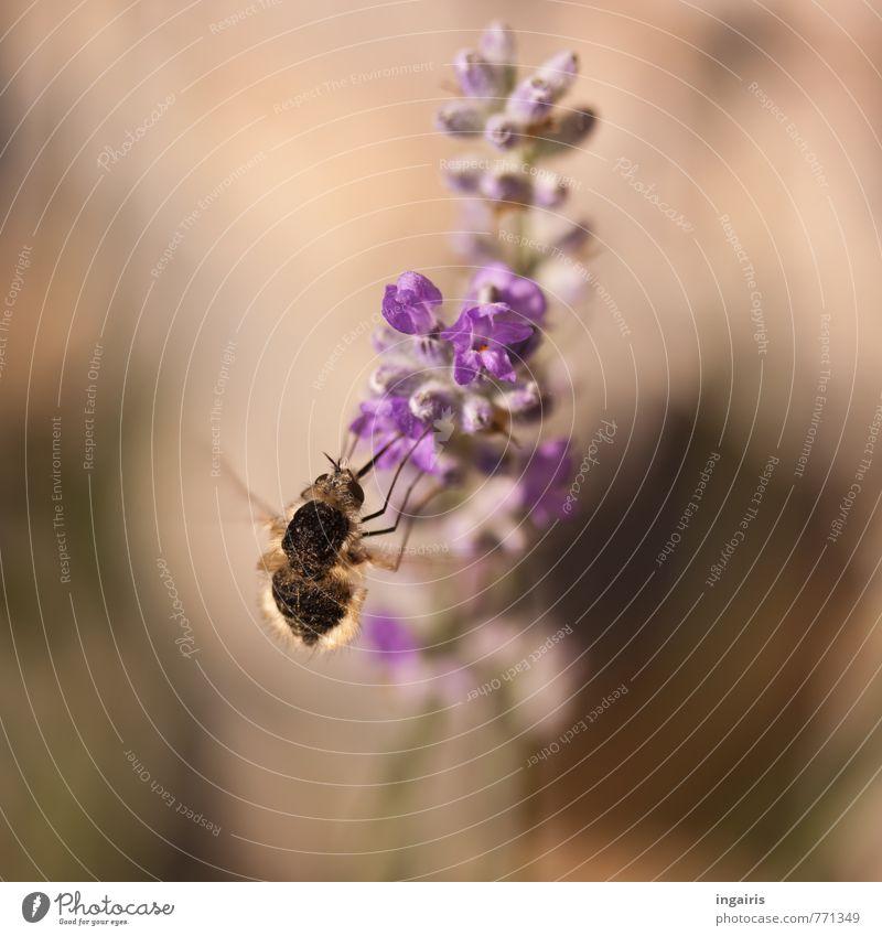 Hungrig Pflanze Blume Tier Bewegung Blüte klein braun Stimmung fliegen Freundlichkeit violett Insekt nah Duft Fressen ansammeln