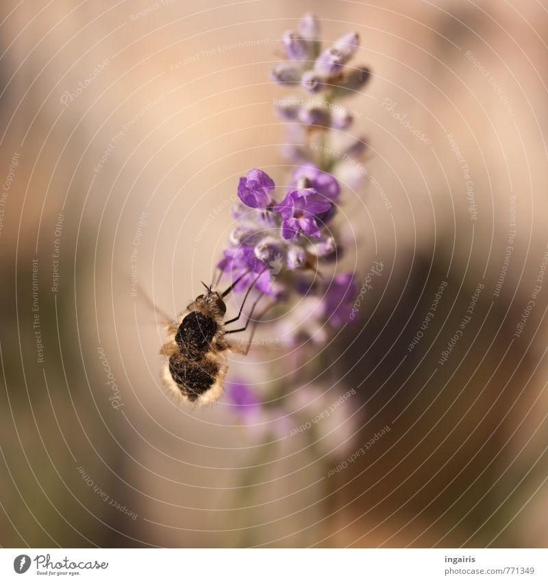 Hungrig Pflanze Tier Blume Blüte Lavendel Wollschweber Insekt 1 fliegen Fressen Duft Freundlichkeit klein nah braun violett Stimmung Bewegung ansammeln Nektar
