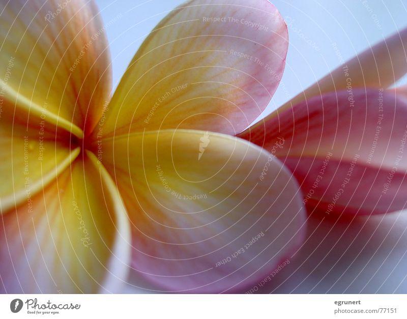 Hawaii Blume Blüte rosa gelb Pflanze Pastellton exotisch potrait