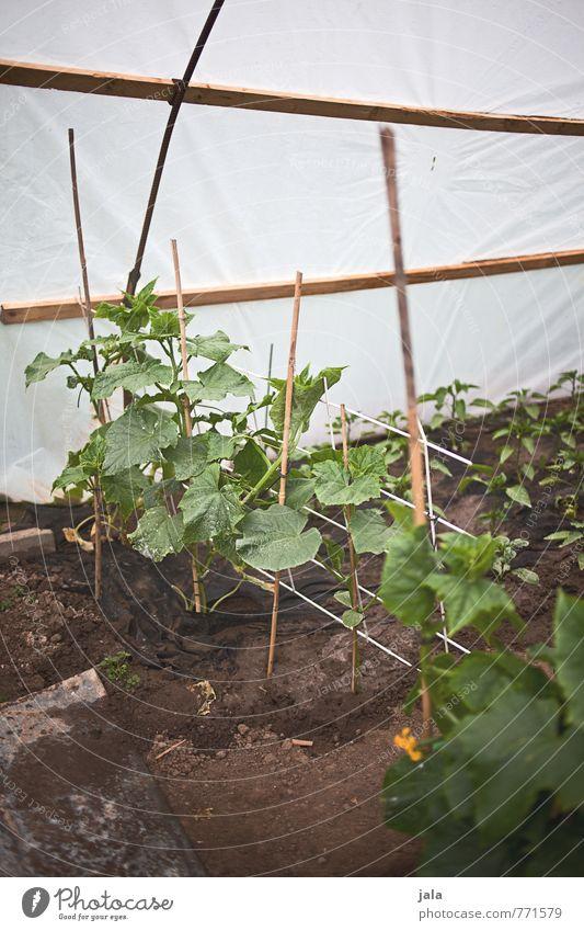 zucchini Pflanze Grünpflanze Nutzpflanze Zucchini Garten Bauwerk Gewächshaus einfach Gesundheit natürlich Farbfoto Außenaufnahme Innenaufnahme Menschenleer Tag