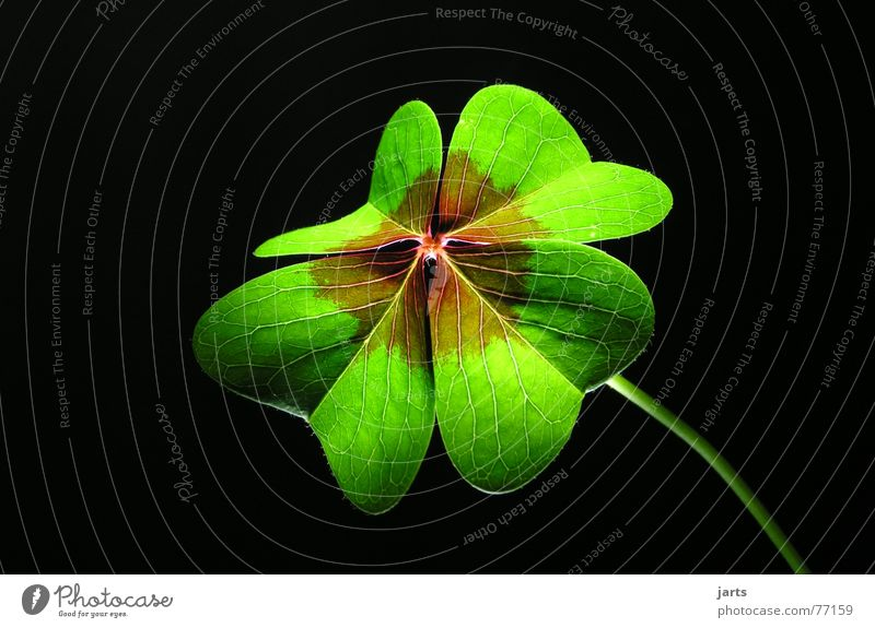 Wünsche Wunsch Klee Wiese grün Glückwünsche Licht Hoffnung Religion & Glaube Volksglaube Glücksklee Makroaufnahme Nahaufnahme vierblätterig Leben jarts