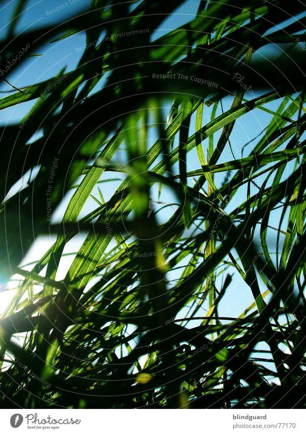 Es wächst mir über den Kopf Gras Wiese Froschperspektive grün weiß Natur Durchblick Himmel Sommer tief unten Rasenmäher Wachstum Wind blau meadow Garten hoch