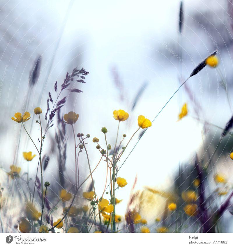 bodenständig | Wildwuchs Natur blau grün Pflanze Blume ruhig Landschaft Umwelt gelb Leben Wiese Frühling Gras Blüte natürlich grau