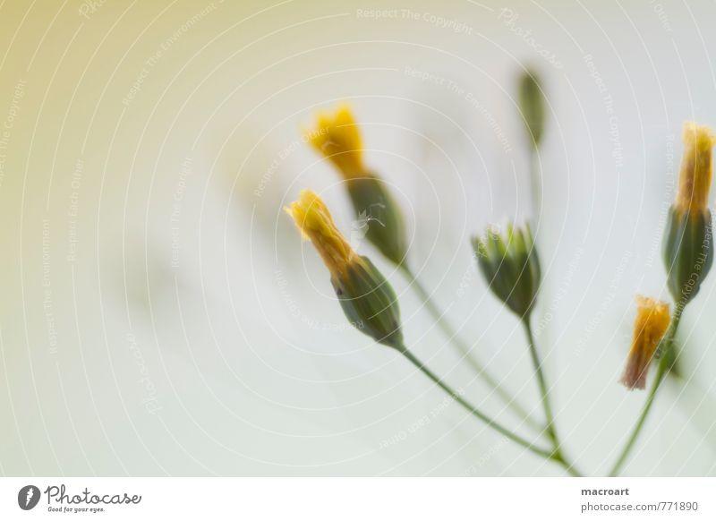 gelb Natur grün Pflanze Sommer Blume gelb Frühling Blüte natürlich Wachstum geschlossen Blühend Stengel Blütenknospen Blütenblatt