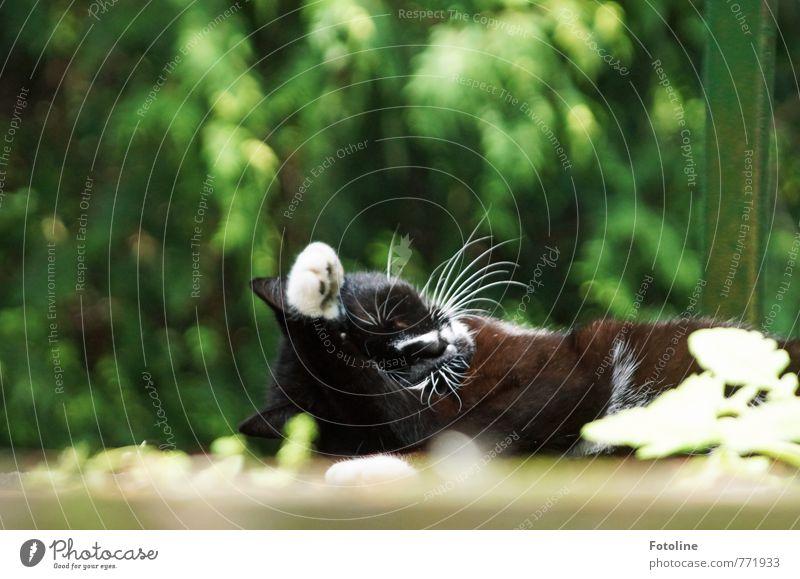 Katzenwäsche Umwelt Natur Pflanze Tier Sommer Sträucher Haustier Fell Pfote 1 schön kuschlig nah weich Hauskatze Reinigen Schnurrhaar Farbfoto mehrfarbig