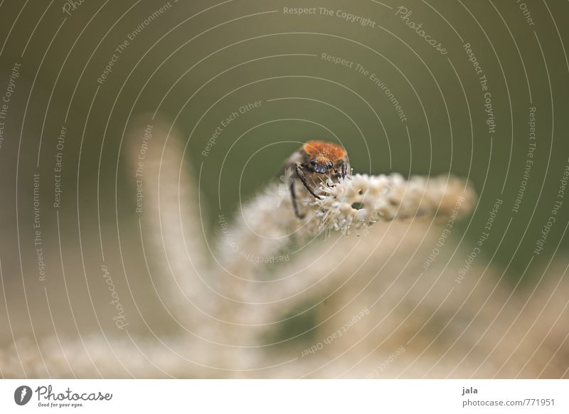 käferl Umwelt Natur Pflanze Schönes Wetter Blume Blüte Tier Käfer 1 ästhetisch natürlich Farbfoto Außenaufnahme Menschenleer Textfreiraum links