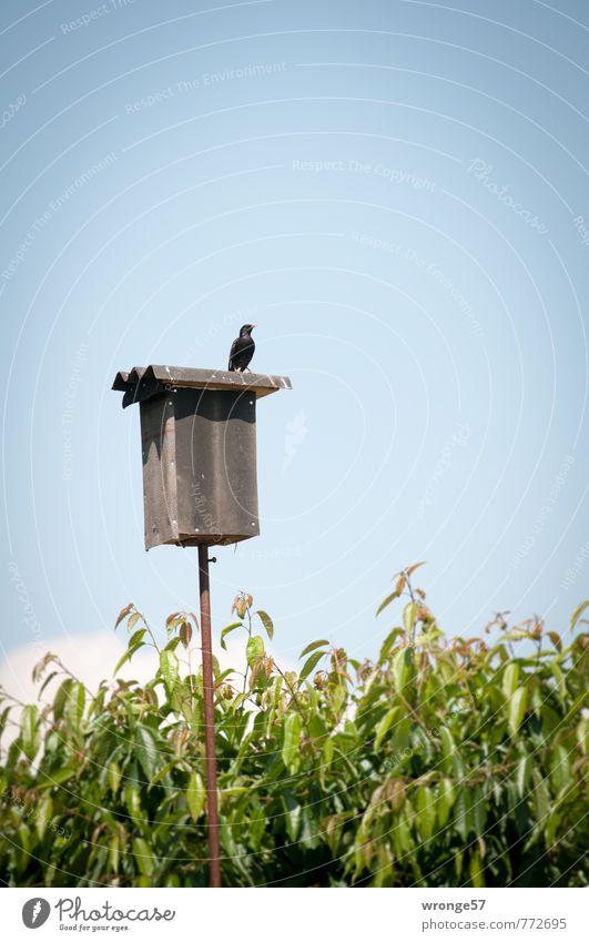 Starenkasten Himmel Wolkenloser Himmel Sommer Baum Blatt Garten Tier Wildtier Vogel 1 Geschwindigkeitsüberwachung beobachten blau braun grün skurril Nistkasten