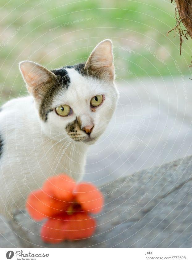 die griechische katze Katze Ferien & Urlaub & Reisen schön weiß Sommer Blume ruhig Tier Traurigkeit elegant Idylle ästhetisch beobachten Sehnsucht Tiergesicht Sommerurlaub