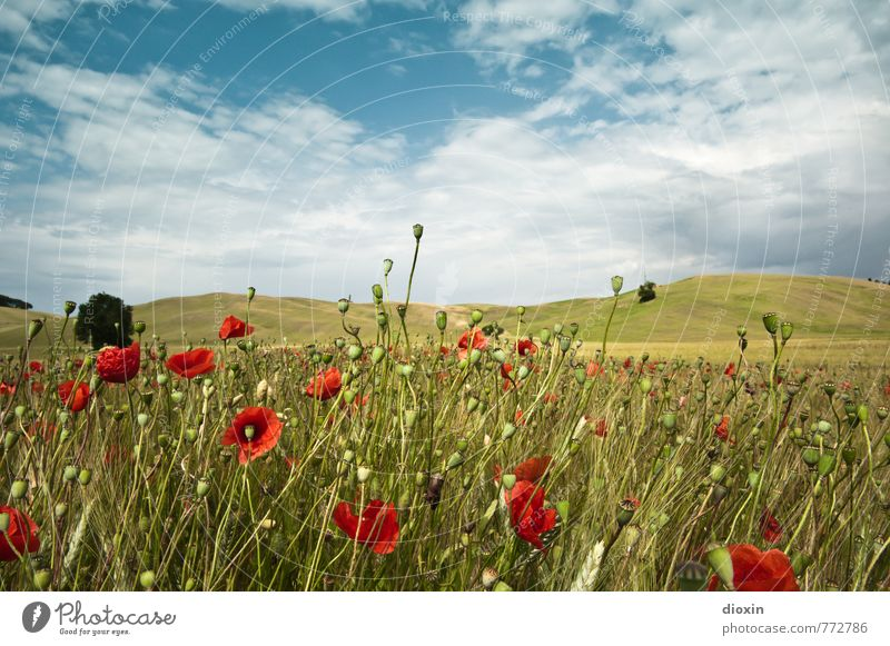 Papaveri toscani [2] Umwelt Natur Landschaft Pflanze Himmel Wolken Sommer Blume Nutzpflanze Wildpflanze Mohn Mohnblüte Mohnfeld Mohnkapsel Roggen Roggenfeld