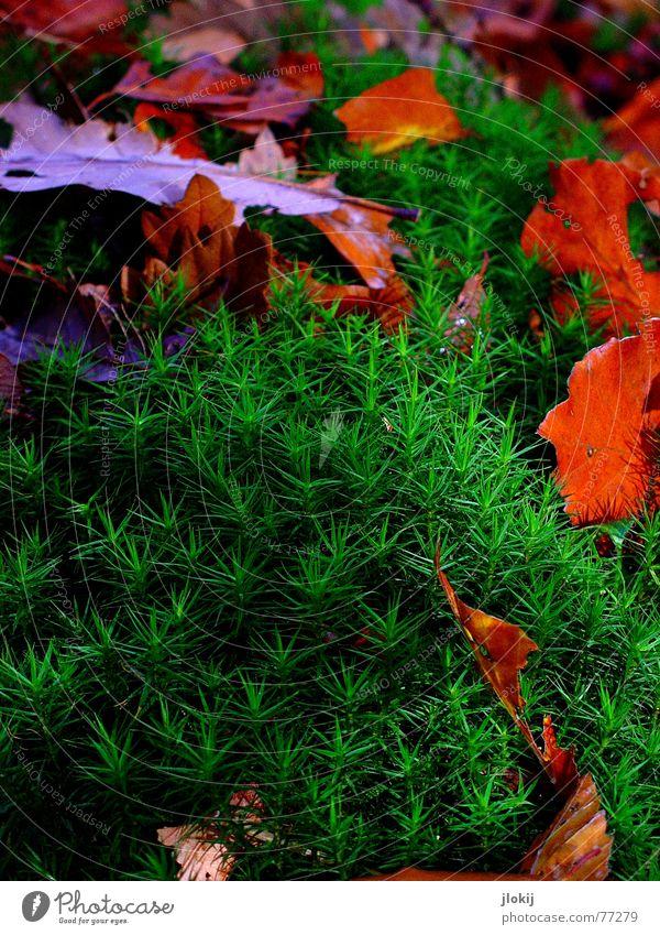 Moost Wanted! grün rot Farbe Blatt kalt Herbst wandern Stern (Symbol) Spaziergang Jahreszeiten Moos Basteln trüb Sporen Moosgummi