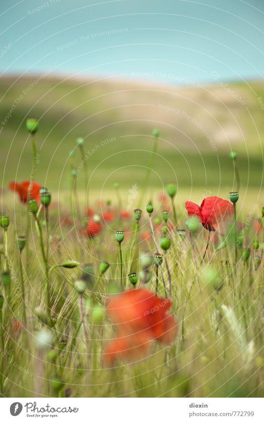 Papaveri toscani [1] Umwelt Natur Landschaft Pflanze Himmel Wolkenloser Himmel Sonnenlicht Sommer Schönes Wetter Blume Blüte Nutzpflanze Wildpflanze Mohn
