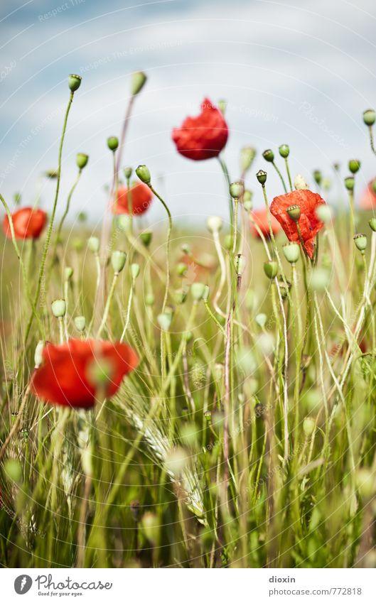poppy tales Umwelt Natur Pflanze Himmel Wolken Blume Blüte Nutzpflanze Wildpflanze Mohn Roggen Roggenfeld Mohnkapsel Feld Blühend Wachstum natürlich positiv