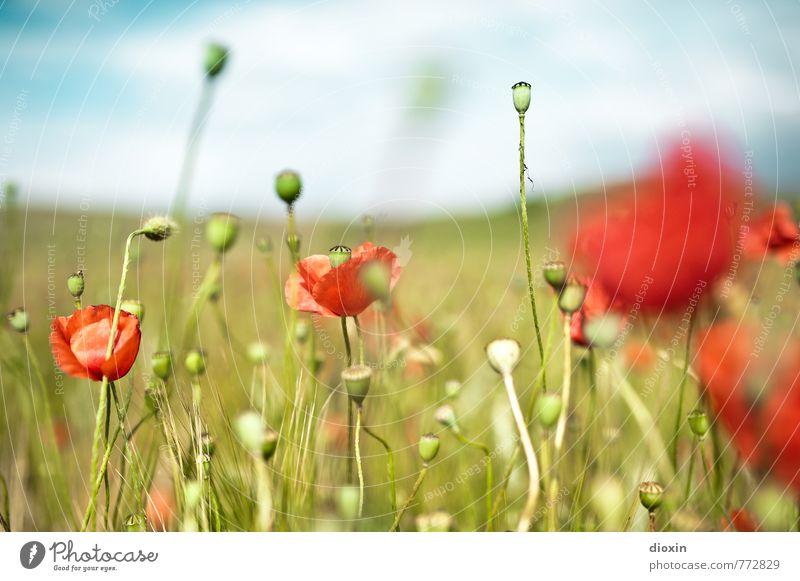 ...und schoenen Mohn gab´s auch! Ferien & Urlaub & Reisen Ausflug Sommer Sommerurlaub Umwelt Natur Landschaft Pflanze Blüte Nutzpflanze Mohnblüte Mohnfeld