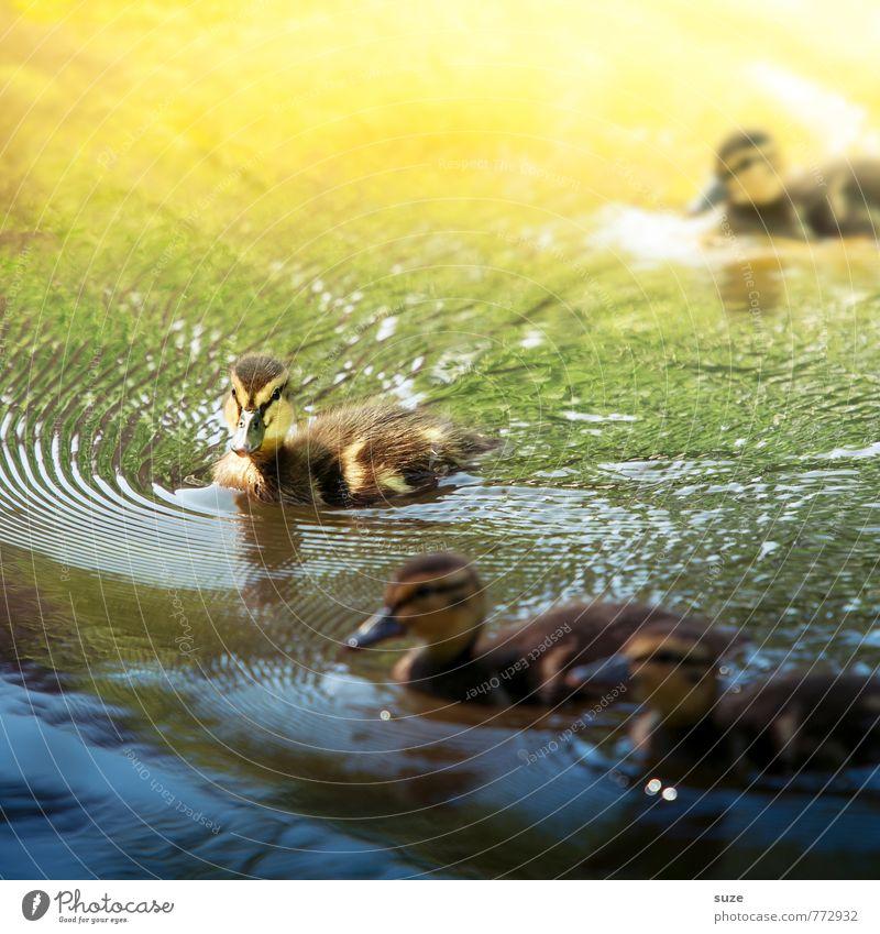 Tierische Weichmacher fürs Herz Natur blau schön grün Wasser gelb Umwelt Tierjunges klein Schwimmen & Baden See Vogel Wetter wild Wildtier