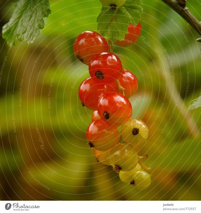 Farbverlauf Natur Pflanze Sträucher Nutzpflanze füttern süß wild gelb grün rot Appetit & Hunger Johannisbeeren Träuble Marmelade Farbfoto Außenaufnahme