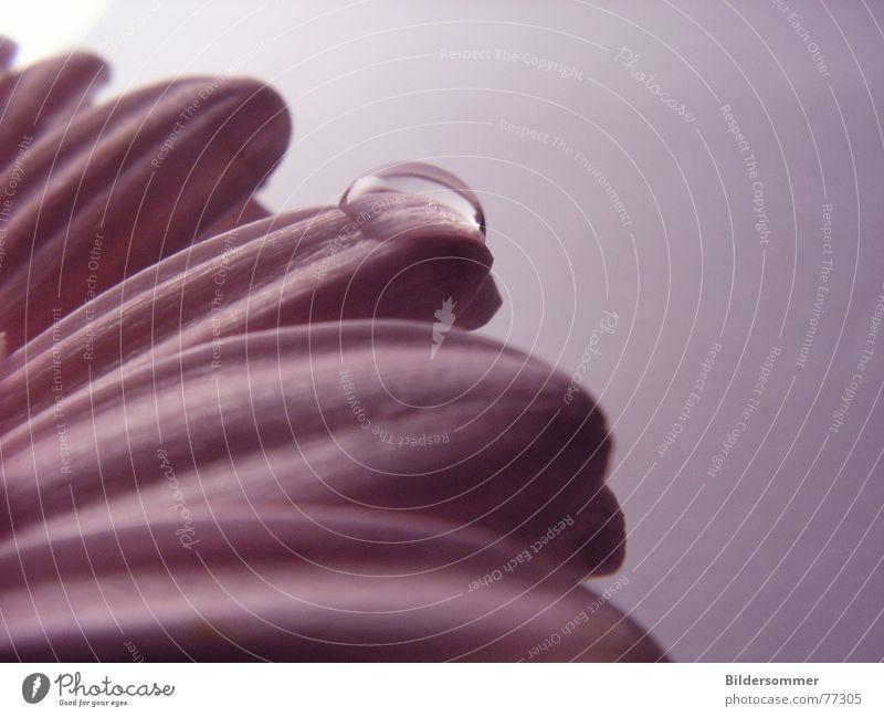 Sensuality Wasser Blume Pflanze rosa Wassertropfen Seil Gerbera