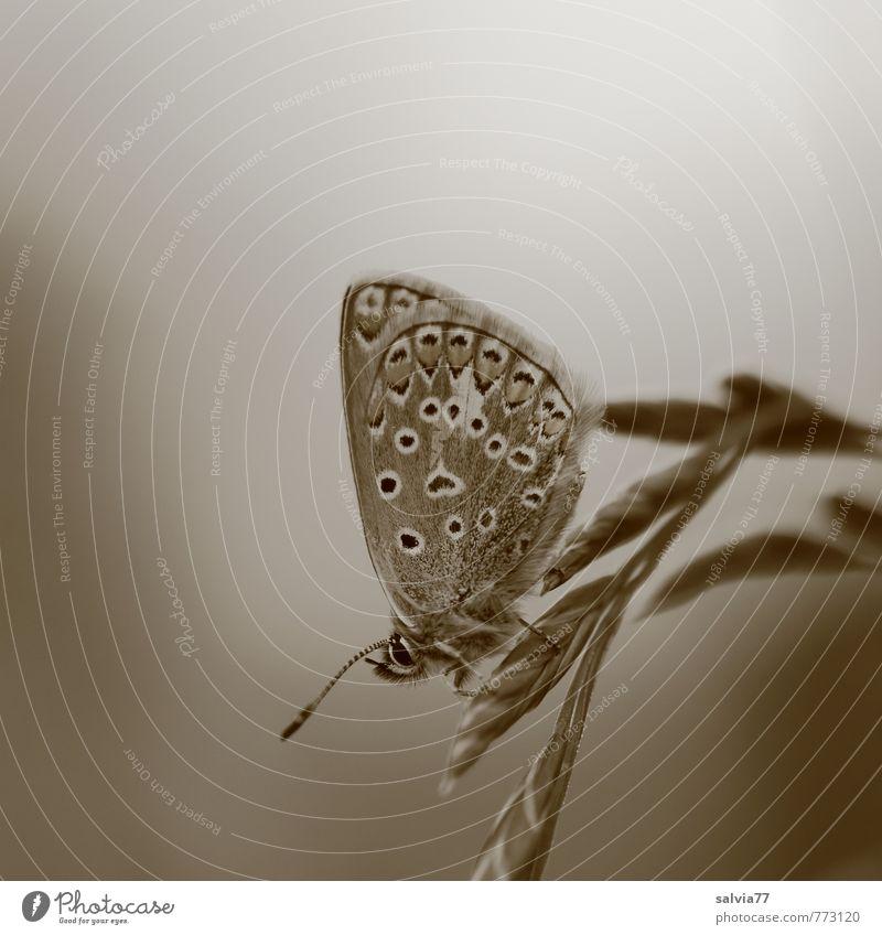 Ruhepause Umwelt Natur Pflanze Tier Sommer Garten Wiese Wildtier Schmetterling 1 klein grau ruhig Bläulinge Insekt Monochrom Halm Gras Fühler zart Erholung