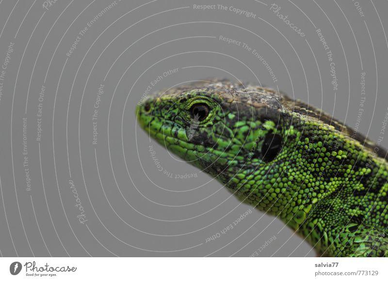 Zauneidechse Natur grün Sommer ruhig Tier Umwelt Auge Wiese grau Wildtier warten Geschwindigkeit beobachten dünn Konzentration Wachsamkeit