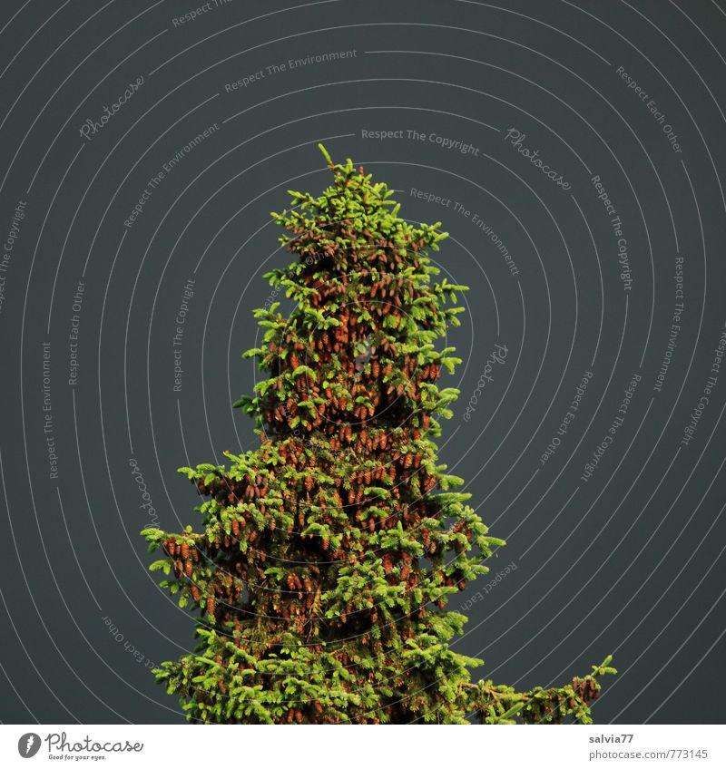 Zapfenreich Natur grün Pflanze Sommer Baum Einsamkeit Landschaft ruhig Wald Umwelt Leben Frühling grau natürlich oben Kraft