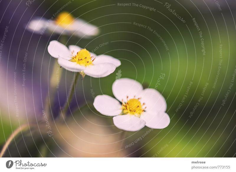 """Erdbeerblütendrilling Natur Pflanze Sonnenlicht Sommer Blume Blüte Nutzpflanze """"Erdbeerblüten Blüten"""" Erdbeeren Garten Blühend Essen genießen gelb gold grün"""