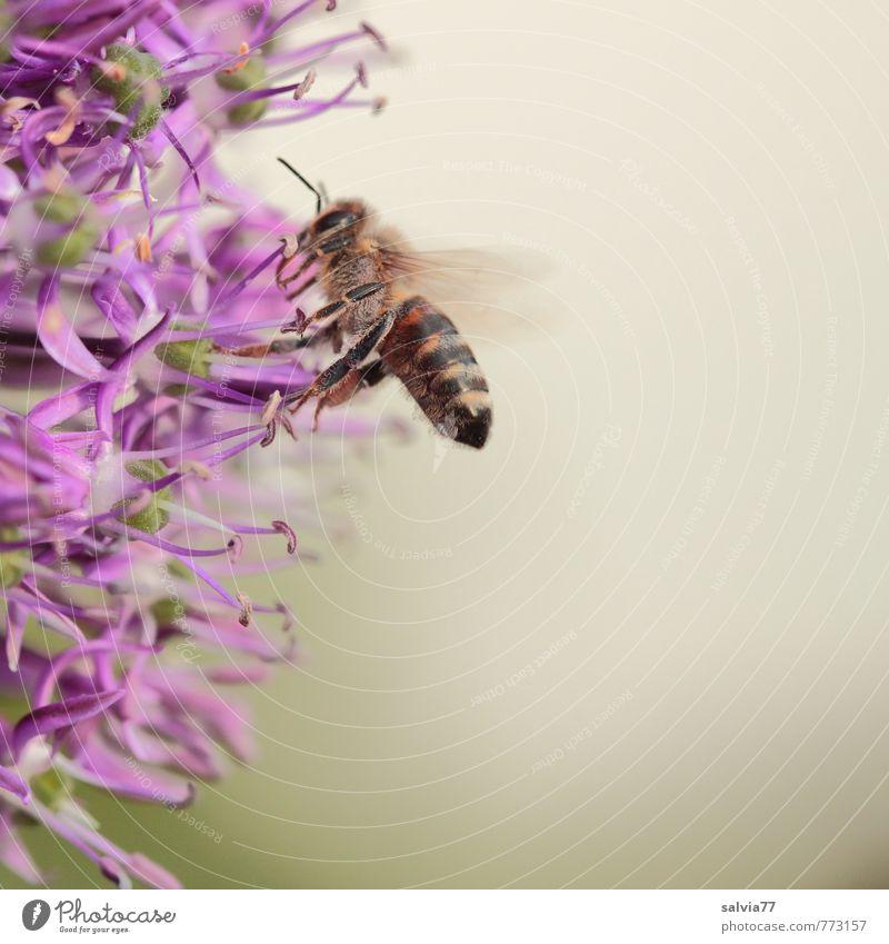 lila Leckerli Natur Pflanze Tier Umwelt Leben Blüte natürlich grau Garten Gesundheitswesen ästhetisch Blühend berühren violett Insekt lecker