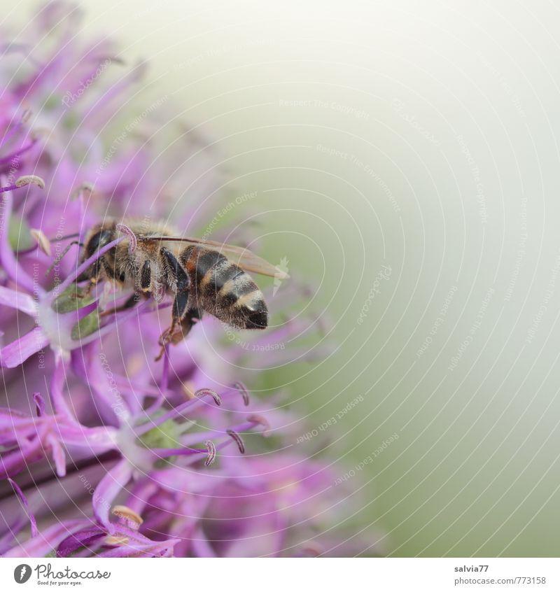 Zierlauch tut`s auch Natur Pflanze Sommer ruhig Tier Umwelt Frühling Blüte klein Garten Arbeit & Erwerbstätigkeit Gesundheitswesen Zufriedenheit ästhetisch genießen Blühend