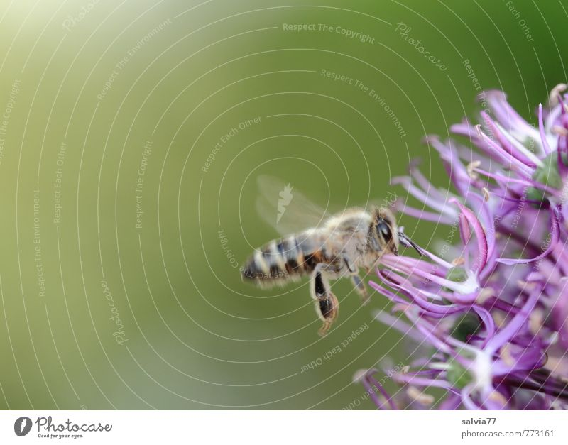 Bienchen summ Umwelt Natur Pflanze Tier Frühling Sommer Blüte Wildpflanze Garten Park Nutztier Wildtier Biene 1 Blühend Duft fliegen frei klein natürlich grün
