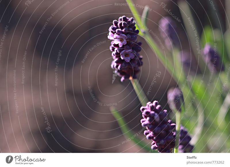 Lavendel blüht und duftet im Sommergarten Lavendelblüte Lavendelduft Lavendelblume Heilpflanze Sommerblume Wohlgefühl Blume Sommerblüte braun Duftpflanze