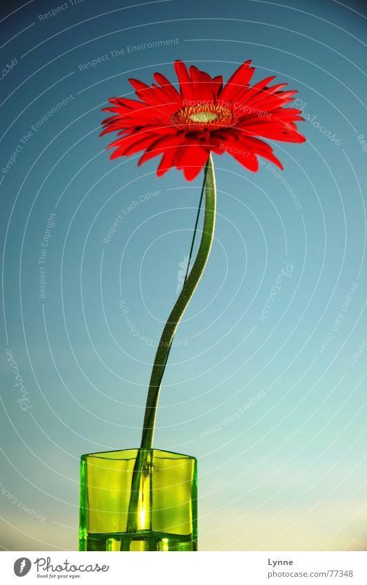 Gerbera Blume Vase grün rot Sommer Frühling Blüte knallig Stengel blau Himmel Schönes Wetter mehrfarbig