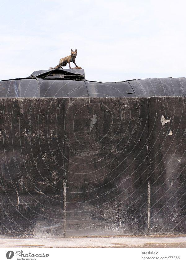 Ausgestopft Abdeckung Mauer Wand dreckig Kuhmist Rotfuchs Trophäe Fuchs Statue grotesk ausgestopft verschmiert