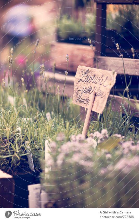 Blumenmarkt 4 Natur Pflanze Frühling Schönes Wetter Thymian Lavendel Garten Blühend Wachstum Duft Bioprodukte verkaufen Markt Marktstand Preisschild Gesundheit