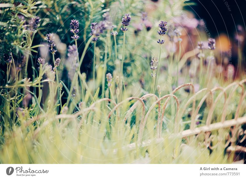 Lavendel Natur Pflanze Frühling Schönes Wetter Blume Garten Blühend Wachstum Duft schön violett sommerlich Sitzreihe Gedeckte Farben Außenaufnahme