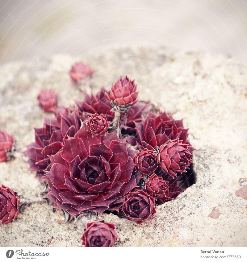 schön trocken Pflanze rot Blume grau Stein hell braun Garten ästhetisch Rose trocken Sandstein bescheiden