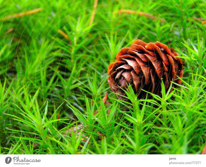 Im Wald Natur grün Wiese Gras Bodenbelag Tanne Tannenzapfen