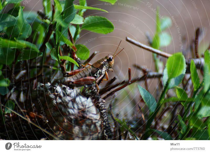 Zum Absprung bereit Natur grün Pflanze Blatt Tier Wald braun springen sitzen Lebewesen sportlich Insekt Heuschrecke