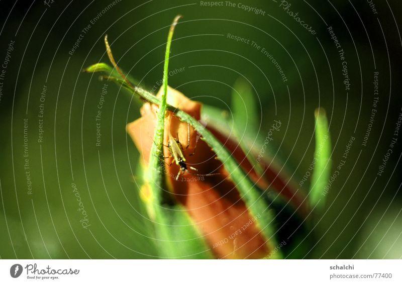 Käfer auf Rosenblüte Blüte Insekt beobachten grün weich Aggression Makroaufnahme Schiffsbug Erholung geschlossene blüte Blütenknospen orange tiefenschäfe