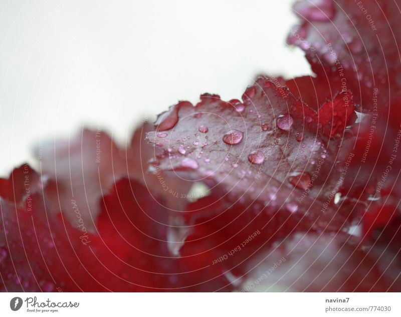 Blätter rot Natur Pflanze Blatt frisch Wassertropfen Sauberkeit Wellness exotisch