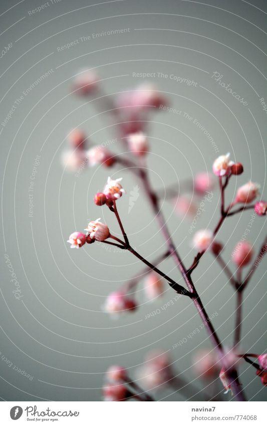Mini 2 Natur alt Pflanze rot Blüte Garten rosa Häusliches Leben Sträucher Blütenknospen exotisch Topfpflanze