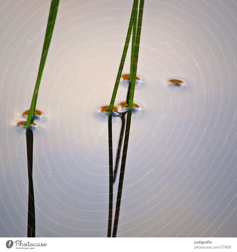 | | | | See Gras Stengel Spiegel Reflexion & Spiegelung grün Wachstum Pflanze Wasseroberfläche ruhig Teich Gewässer Erholung harmonisch vertikal Schilfrohr zart