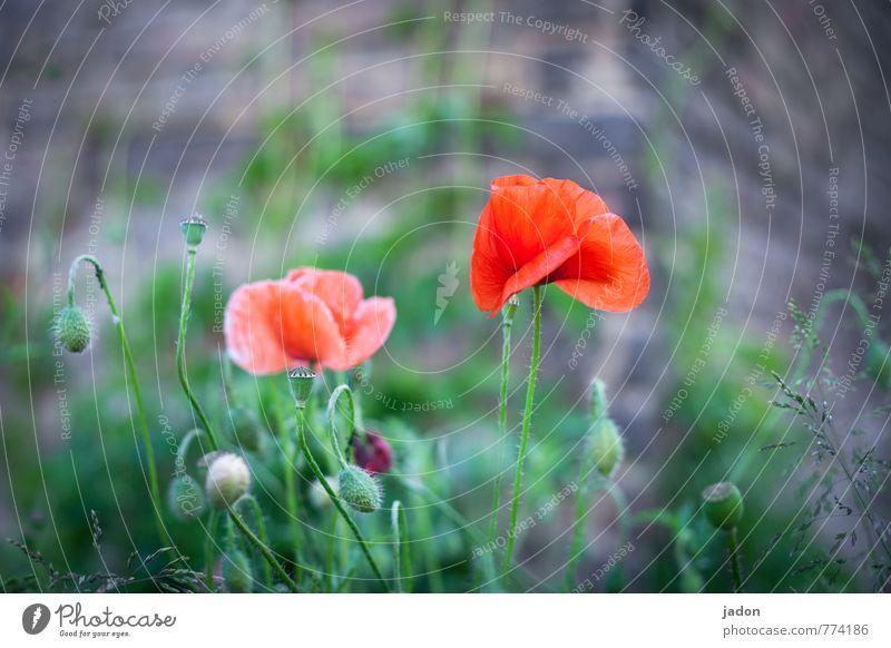 blumenschau. elegant schön Natur Pflanze Frühling Blume Wildpflanze Mohn Mohnblüte Wiese Blühend niedlich rot Lebensfreude Frühlingsgefühle Idylle Umwelt