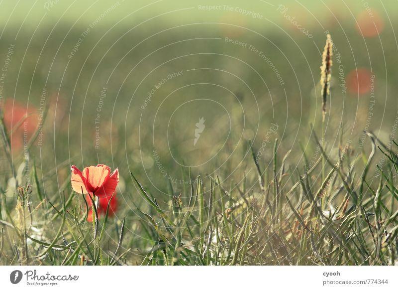 Ein Hauch von Sommer Natur grün Farbe Einsamkeit rot Blume Landschaft ruhig hell Feld Kraft Zufriedenheit Idylle Wachstum leuchten