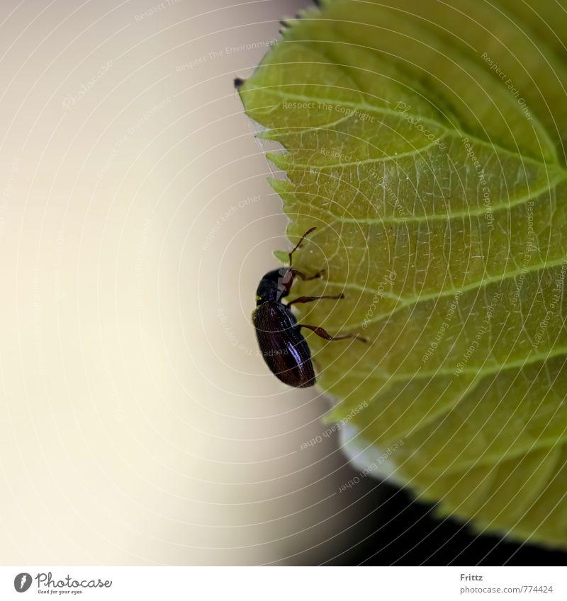 ... der glänzend Schwarze ... Natur Tier Blatt Wildtier Käfer Glänzendschwarzer Getreideschimmelkäfer Alphitobius diaperinus Schwarzkäfer 1 hängen braun grau