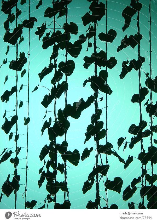 Hohe Ziele Pfeifenblume Blume Blatt Stengel Pflanze grün herzförmig Kletterpflanzen krautig Licht Genauigkeit schwarz Drahtseil Innenarchitektur Lüftungsschacht