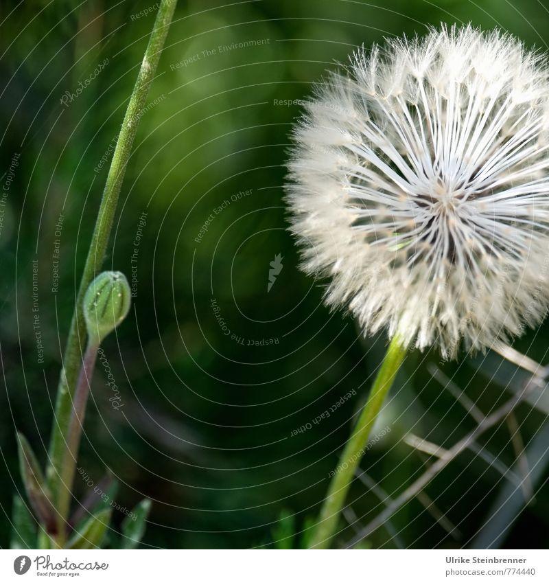 Haarig | Windstoßfrisur Natur Pflanze grün weiß Blume Umwelt Wiese Frühling natürlich Haare & Frisuren Feld Frucht weich festhalten zart Stengel