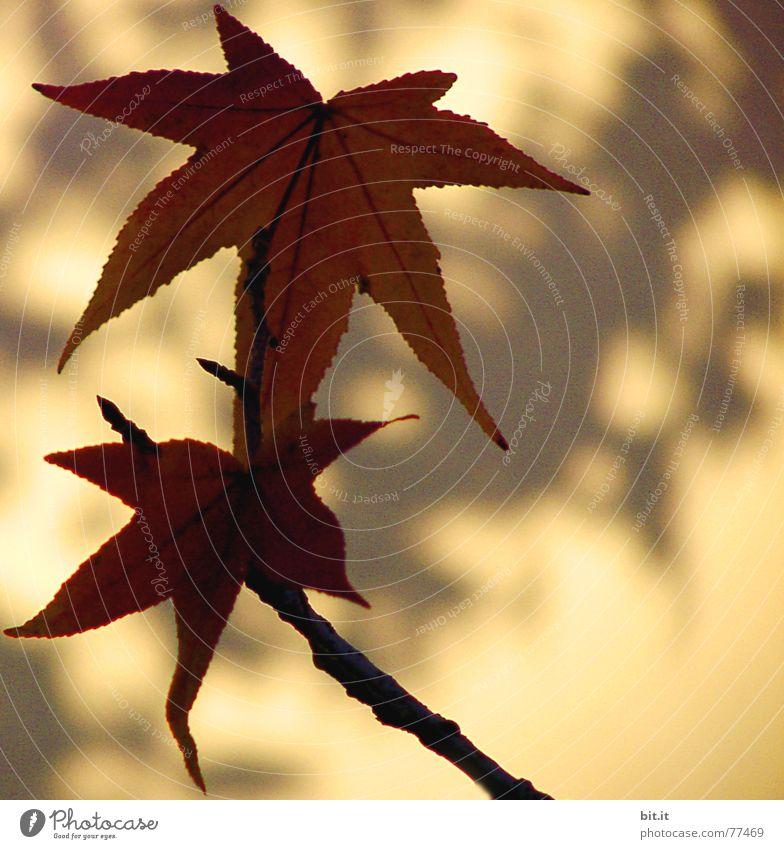 STERNEN geflüster Pflanze Sonnenlicht Herbst Schönes Wetter Blatt braun gelb Leichtigkeit herbstlich Herbstlaub Blattschatten Wand Umrisslinie Herbstfärbung